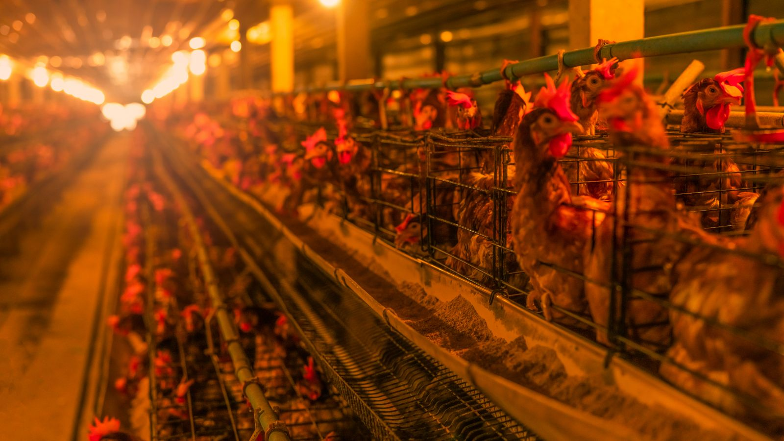 Cage systems with chickens